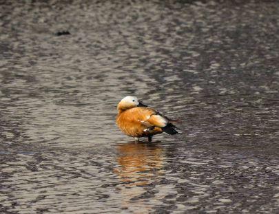 府谷掠影-小河畔的野鸭子