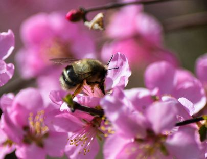 府谷掠影-河滨公园的蜜蜂